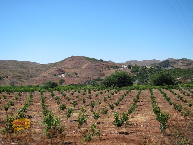 Naranjas creciendo en la zona de Pego do Inferno, Tavira
